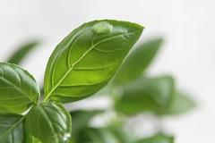 Basil (Agne Barde) Tags: macromondays thefirstletterofmysurname basil culinaryherb drop waterdrop leaf green white macro closeup flora ocimumbasilicum