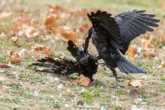 20180922_Vincennes_Corneille noire-4 (thadeus72) Tags: aves birds carrioncrow corneillenoire corvidae corvidés corvuscorone oiseaux passériformes