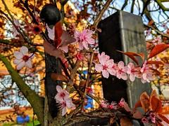 Flowers on a fence (dksesha) Tags: seshadri dhanakoti harita menaka google pixel tilottama boroughofhounslow aldi sesh seshfamily haritasya vilambisamvatsara googlepixel3xl googlepixel pixel3 pixel3xl hounslow hiberniaroad