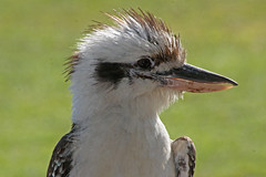 "Kookaburra (Uhlenhorst) Tags: 2015 australia australien animals tiere birds vögel travel reisen ngc "" lovelymotherearth"" npc coth natureinfocusgroup specanimal coth5 naturethroughthelens"