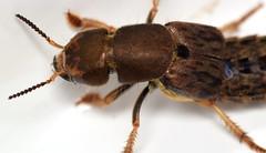 22 mm large rove beetle (ophis) Tags: coleoptera polyphaga staphyliniformia staphylinoidea staphylinidae staphylininae staphylinini staphylinina platydracus platydracusmaculosus