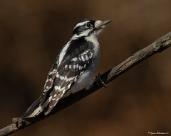 Down1a (lfalterbauer) Tags: dryobatespubescens canon 7dmarkii dslr ornithology avian downywoodpecker wildlife nature photographer peacevalleypark outdoor tree branch perch lightroom