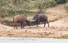 10b-buffalo-2995 (h.redpoll) Tags: kazingachannel africanbuffalo boatride queenelizabethnationalpark uganda