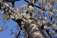 Zierkirsche, japanische / Japanese cherry (Prunus serrulata Jo-nioi) (HEN-Magonza) Tags: japanischezierkirsche japanesecherrytree botanischergartenmainz mainzbotanicalgardens rheinlandpfalz rhinelandpalatinate deutschland germany flora spring frühling prunusserrulatajonioi