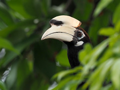 Oriental Pied Hornbill (ChongBT) Tags: nature natural wild life wildlife animal bird avian ornithology watching birdwatching malaysia olympus anthracoceros albirostris oriental pied hornbill urban male