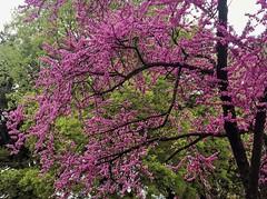 Albero di Giuda (siliquastro) (giorgiorodano46) Tags: aprile2019 april 2019 giorgiorodano roma italy siliquastro alberodigiuda tmt