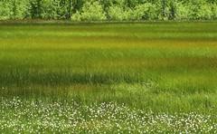 Enjoy the sight of Paige Meadows in summer, folks! (Ruby 2417) Tags: meadow grass wildflower green marsh field paige tahoe city sierra nevada sierras mountain