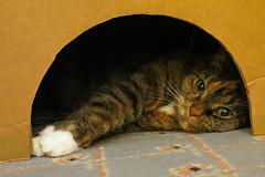 Gracie 19 January 2019 2318Ri 4x6 (edgarandron - Busy!) Tags: gracie patchedtabby cat cats kitty kitties tabby cute feline