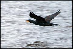 Cormorant In Flight (Photon Star) Tags: birds water flight brown coloured cormorant wales cymru