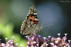 Belle-Dame Vanessa Cardui painted lady (Ezzo33) Tags: belledame vanessacardui paintedlady france gironde nouvelleaquitaine bordeaux ezzo33 nammour ezzat sony rx10m3 parc jardin papillon papillons butterfly butterflies