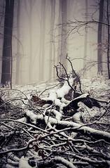 20190202-028 (sulamith.sallmann) Tags: landschaft pflanzen wetter baum botanik brandenburg buche buchenwaldgrumsin bäume deutschland europa laubbaum natur nebel nebelig pflanze schnee snow uckermark wald weltnaturerbe winter winterlich sulamithsallmann