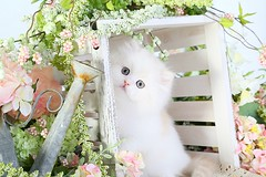 Doll Face Persian Kitten (dollfacepersiankittens.com) Tags: persian kittens for sale doll face cat breeders felines animals pets photography cute cutekittenpictures cutecatpictures cutekittens cutecats catsofinstagram catstagram catsofgoogle catsoftheworld