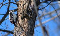 Woodpecker19 (HungLam1980) Tags: kingstonontario ygk ontario canada woodpecker hairywoodpecker bird birds winter tree branch