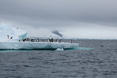 IMG_3460 (y.awanohara) Tags: adelie adeliepenguins penguins antarctica antarcticpeninsula wildlife january2019 icebergs ice icefloes