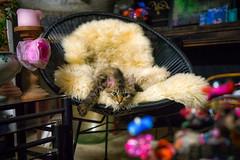 penelope bethune france (chrisimages1) Tags: chat cat sony a7 samyang flowers 35mm full frame lens af france bokeh