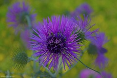 Mediterranean Thistle... (monazimba) Tags: galactites tomentosa wildflower mediterranean thistle purple quote william blake