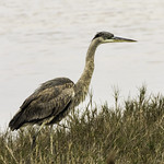 Great Blue Heron 1 thumbnail