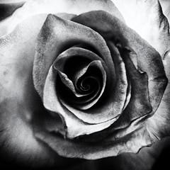 Pink Rose (rustman) Tags: blackandwhite blossom bnw bokeh botanical bw closeup flower floral garden homegrown lx100 macro monochrome nature pink plantlife rose square texaslife