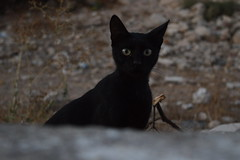 curious cat (unciclamino) Tags: gatto cat animal greece greek eyes red tree summer