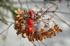 С первой капелью, С последней метелью, С праздником юной Весны! Вас поздравляем Сердечно желаем: Счастья, здоровья, Удач, красоты! (Angelok-Happy) Tags: природа 1марта снег ягодки весна счастье капельspring march1 snow nature berries drops happiness