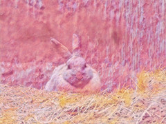 Too Much Pink Champagne (Steve Taylor (Photography)) Tags: pink yellow rabbit straw hay animal digitalart newzealand nz southisland canterbury christchurch