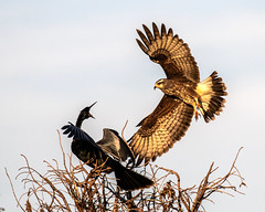 Snail Kite Landing Looking for a Parking Space at Sunset (dbadair) Tags: outdoor sky raptor nature wildlife 7dm2 ef100400mm canon florida bird prey hawk apple snail flight bif birdinflight