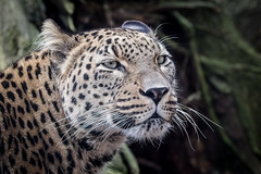 Leopard (Petra Güldner) Tags: zoomünster leopard