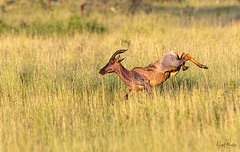 TOPI 2 (Nigel Bewley) Tags: topi damaliscuslunatus tsessebe antelope tanzania africa wildlife nature wildlifephotography nigelbewley photologo appicoftheweek safari gamedrive maswagamereserve march march2019 buck