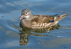 Pretty Mrs Mandarin (Eleanor (No multiple invites please)) Tags: duck mandarinduck femalemandarinduck reflection water thelongwater kensingtongardens london nikond7100 march2019 ngc