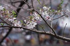 IMGP4422 (kirinoa) Tags: 神奈川県 横浜市 日ノ出町 黄金町 大岡川 桜
