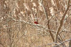 IMG_2833 (Jeffrey Terranova) Tags: canon rebelt6 avenel nj newjersey backyard wildlife cardinal