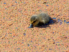 Cute duckling on the brown canal (Tony Worrall) Tags: baby cute birds bird duck duckling wild outdoors canal wer water wildlife preston lancs lancashire city welovethenorth nw northwest north update place location uk england visit area attraction open stream tour country item greatbritain britain english british gb capture buy stock sell sale outside caught photo shoot shot picture captured ilobsterit instragram photosofpreston ashtononribble ashton