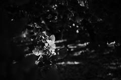 20181124 Sobue 1 (BONGURI) Tags: 稲沢市 愛知県 日本 jp bw monochrome blackandwhite 白黒 モノクロ モノクローム shadow light sunlight 影 明かり 太陽光 spotlight スポット光 スポットライト 木漏れ日 gingko イチョウ 銀杏 いちょう leaf leaves 葉 葉っぱ dark 暗い tree 木々 樹木 sobue 祖父江 inazawa 稲沢 aichi 愛知 nikon df afsnikkor2485mmf3545gedvr
