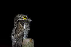 Northern Potoo (FayTr) Tags: centralamerica nature belize tropics nyctibiusjamaicensis bird jungle