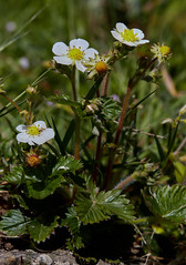 Fragaria vesca (Wild Strawberry) (Hugh Knott) Tags: fragariavesca wildstrawberry flora flower anglesey wales uk british rosaceae