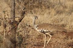 Kori Bustard (Rckr88) Tags: krugernationalpark southafrica kruger national park south africa birds bird kori bustard koribustard animals animal naturalworld nature outdoors wilderness wildlife