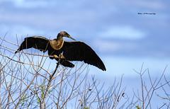 Perching Anhinga (Mike_FL) Tags: perchinganhinga evergladesnationalpark nikon nikond7500 nature wildlife floridawildlife florida outdor image tamron100400mmf4563divcusda035