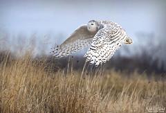 Snowy on the Wing (Nick Scobel) Tags: snowy snow winter owl bubo scandiacus arctic birding flight take off wings irruption scenic dynamic michigan