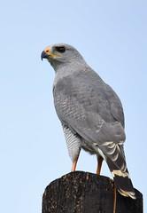Gray Hawk (anacm.silva) Tags: grayhawk hawk rapina ave bird wild wildlife nature natureza naturaleza birds aves birdofprey costarica buteoplagiatus raptor