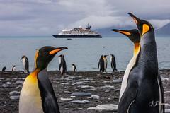 1M5Y9204JJS (JJSantosphoto) Tags: jjsantos jjsantosphoto antarctica antartica continenteantartico ilhageorgiadosul ilha georgiadosul georgia expediçãoantartica expediçãoantarctica expedição travel viagem navio pinguimimperial pinguim imperial expediçãoantartida antartida canon canoneos1dsmarkiii eos1dsmarkiii eos1ds markiii praia ef70200mmf28lisiiusm ef70200mm 70200mm