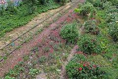 8402 - PARIS 12 - LA PETITE CEINTURE (mimi.deparis21) Tags: paris petiteceinture voieferrée abandonnée nature fleurs railway abandoned flowers shrub abandonedrailway