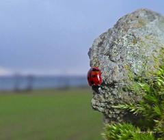 Eleven Spot Ladybird3 Portencross Road 25Jan19 (g crawford) Tags: ladybird ladybug coccinellaundecimpunctata eleven elevenspot beetle insect macro crawford red portencrossroad portencross westkilbride ayrshire northayrshire
