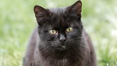 Black Cat (Ronan McCormick) Tags: ilobsterit canon ireland winter animal black cat cats catsofflickr