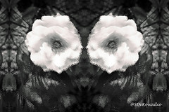 White Rose (Stephenie DeKouadio) Tags: art artistic abstract abstractart abstractflower abstractflowers abstractpainting darkandlight blackandwhite monochrome