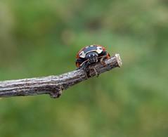 Eye to eye! (rockwolf) Tags: anatisocellata ladybird eyedladybird coccinellidae coccinelle coleoptera beetle coccinelleàocelles woodlane shropshire rockwolf