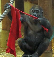 western lowlandgorilla Yanga Artis 094A0344 (j.a.kok) Tags: gorilla westelijkelaaglandgorilla welp lowlandgorilla laaglandgorilla animal artis africa afrika aap ape zoogdier dier primate primaat mammal monkey mensaap yanga