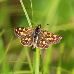 Carterocephalus palaemon (Gary Walton) Tags: carterocephaluspalaemon arcticskipper butterfly insect skipper