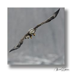 Bald Eagle at Clarksville Missouri - No. 1 (Nikon66) Tags: juvenilebaldeagle baldeagle eagle clarksville missouri nikon d850 600mmnikkor