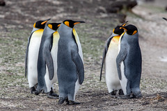 Gossipping! (Linda Martin Photography) Tags: kingpenguin saundersisland spheniscidae southatlanticocean aptenodytespatagonicus bird falklandislands wildlife nature alittlebeauty coth naturethroughthelens ngc coth5 npc