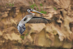 Brown Pelican Landing - La Jolla, California (thomas_hill) Tags: sunset brownpelican lajolla california usa